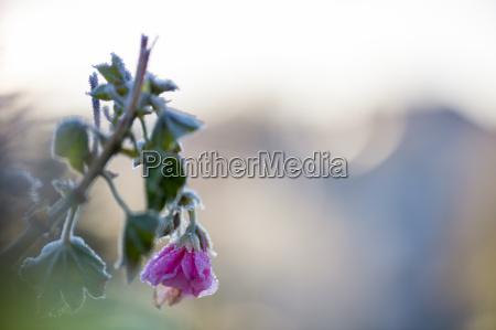 frostbedeckte geranie