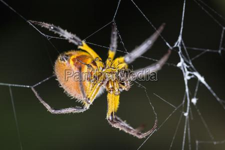 peru manu nationalpark kugelweberspinne in spinnweben