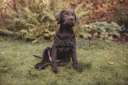 labrador retriever puppy sitting in garden
