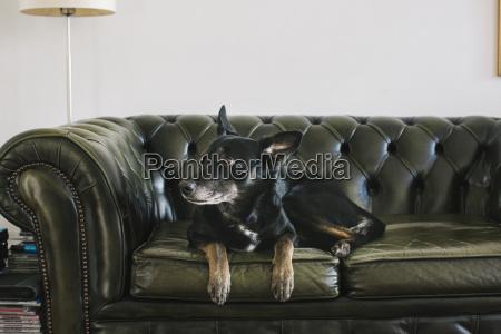 portrait of dog lying on leather