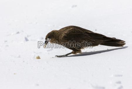 a hawk picks at a piece