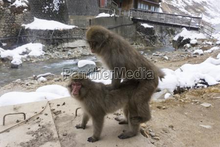 snow monkey mating at snow monkey