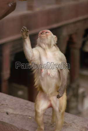 monkey in temple of durga varanasi