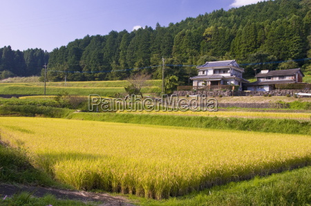 terraced rice fields ready for harvesting