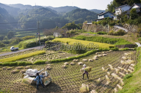 threshing freshly harvested rice in a