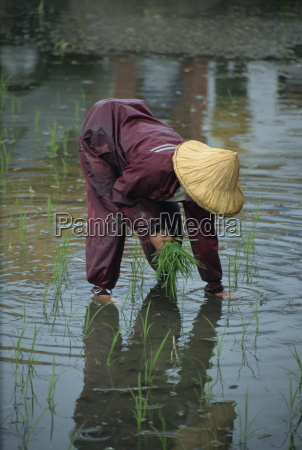 a woman transplanting rice in a