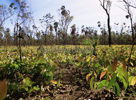 nachwachsen von eukalyptus setzlingen nach buschfeuer