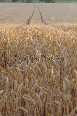 wheat field in the dordogne aquitaine