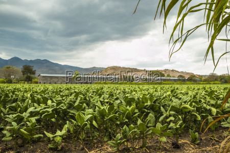 field of tobacco plants in an