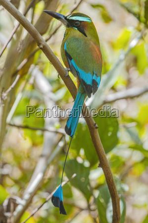 guardabarranco tuerkisfarbenes motmot nationalvogel von nicaragua