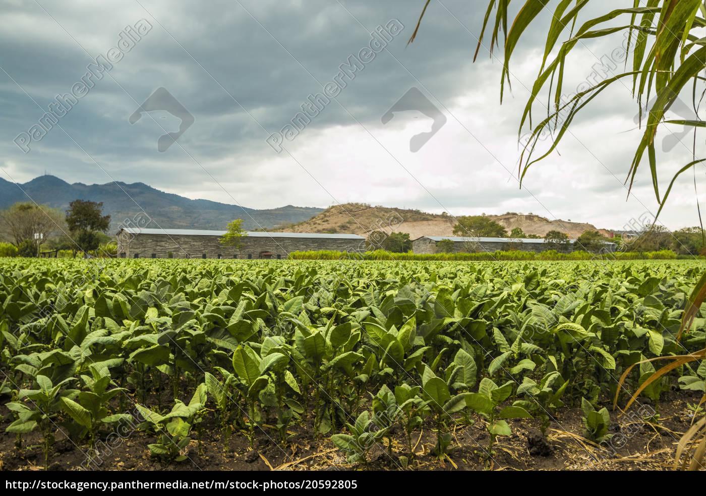 feld, der, tabakpflanzen, in, einer, wichtigen - 20592805