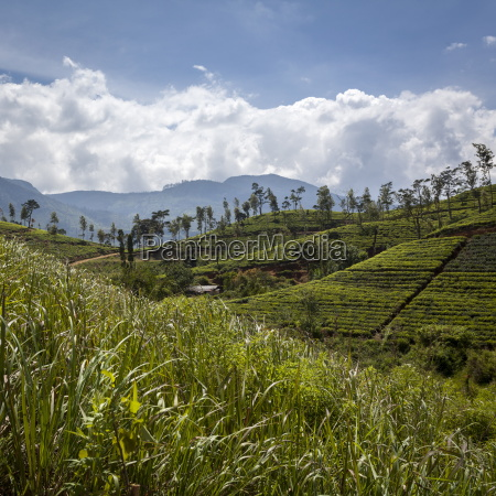 tea plantations in the hill country