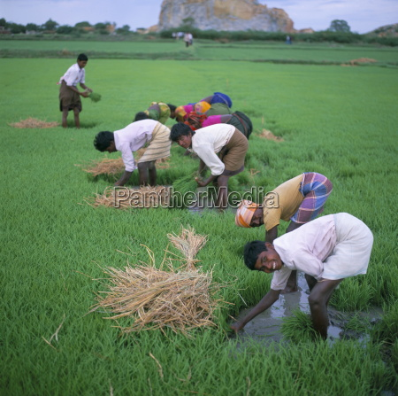 rice paddy fields and agricultural workers