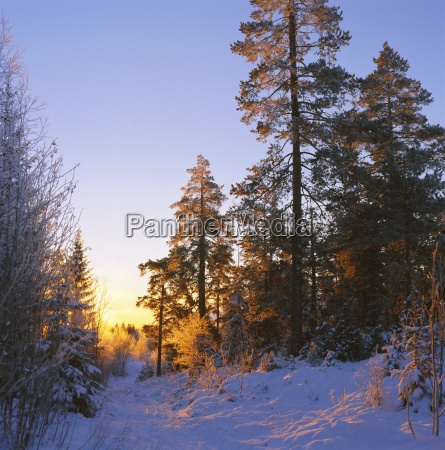 winter sunset in the forest near
