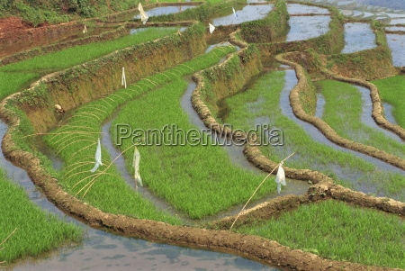 rice terraces with bird scarers in