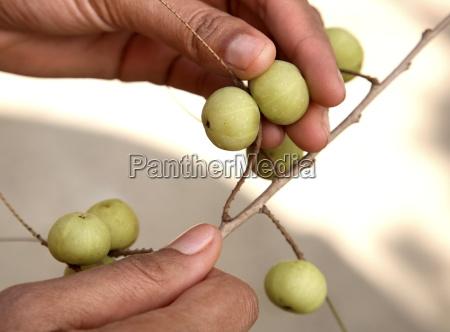 indische stachelbeere amla embilca officionalis eine