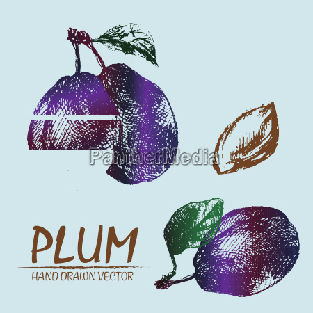 digital vector detailed color plum hand