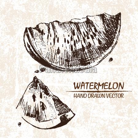 digital vector detailed watermelon hand drawn