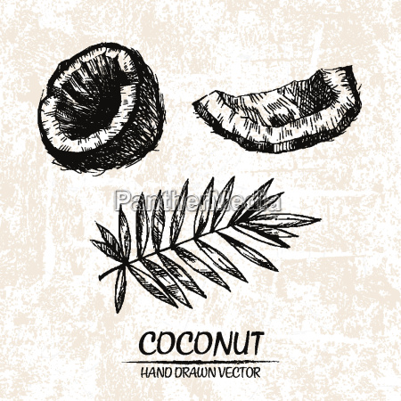 digital-vektor, detaillierte, kokosnuss, hand, gezeichnet - 20608753