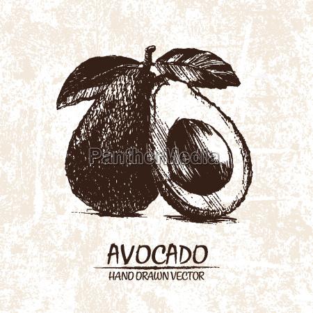 digitale vektor detaillierte avocado hand gezeichnet
