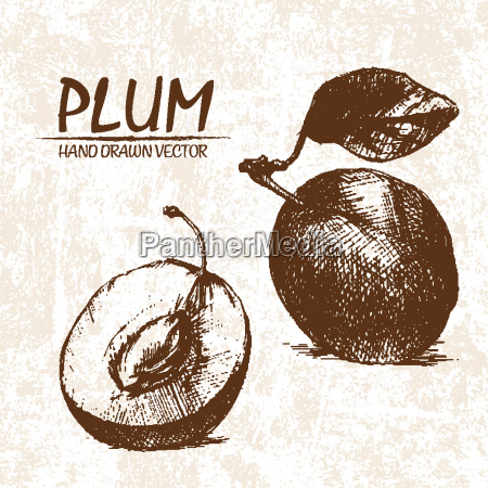 digital vector detailed plum hand drawn