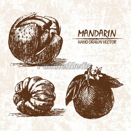 digital vector detailed mandarin hand drawn