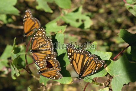 monarchfalter in mexiko nordamerika