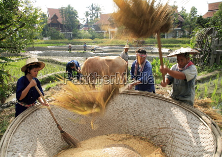 farmers in rice field thailand southeast