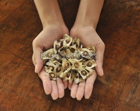 pod samen von malunggay moringa oleifera