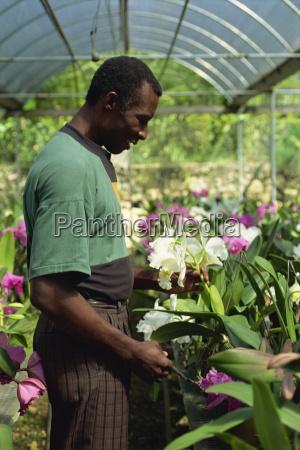 supervisor tendet orchideen fuer den export