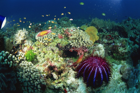 corona de espinas estrella de mar