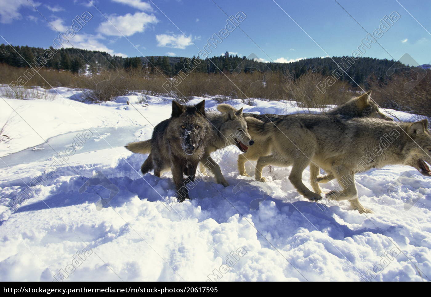 wölfe, (canis, lupis), animals, of, montana, montana, vereinigte, staaten - 20617595