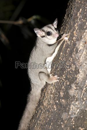 zuckerflieger petaurus breviceps hat ein schlagitium