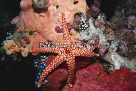 starfish and soft corals hurgada red