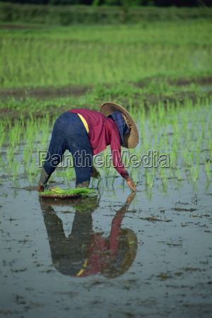 woman planting out rice in a