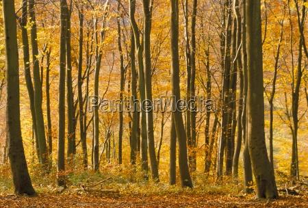 beech trees in autumn queen elizabeth