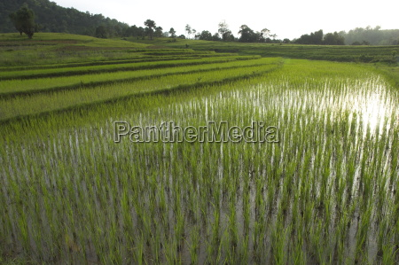 young rice paddies in terraces in