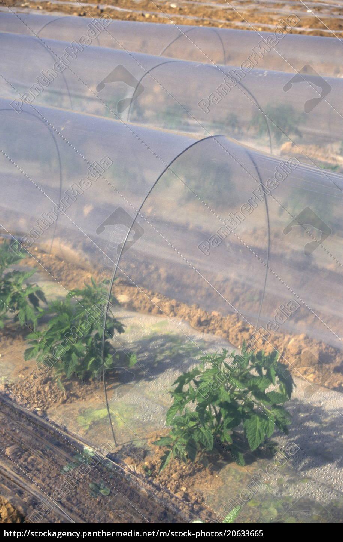 wassermelone, wächst, in, sandigen, böden, unter - 20633665