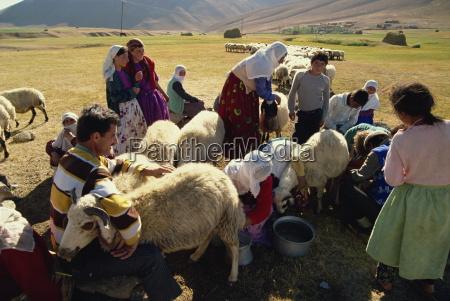 milking sheep kurdistan anatolia turkey asia