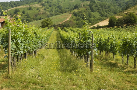vineyards in countryside near saint jean