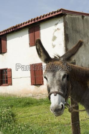 donkey near st jean pied de