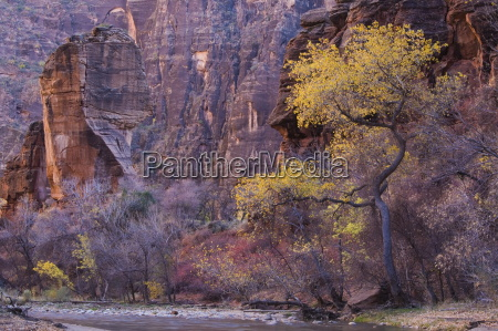 cottonwood by the virgin river the