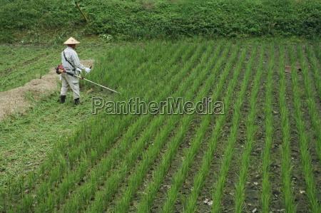man in field cutting rice in