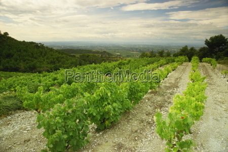 vineyards near gigondas vaucluse provence france