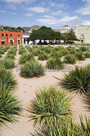 agave-pflanzen, für, die, herstellung, von, mezcal, oaxaca - 20643591