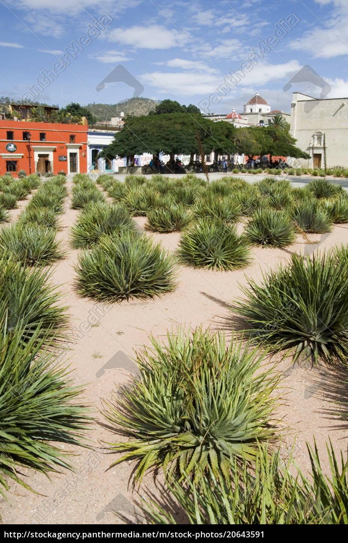 agave, plants, used, for, making, mezcal, - 20643591