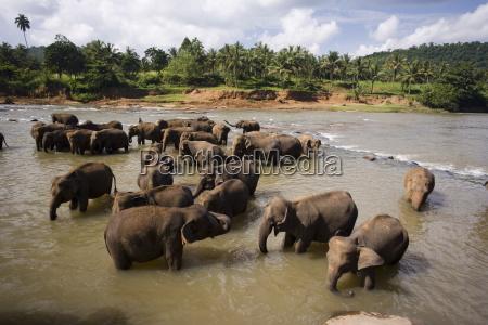 elephants bathing in the river pinnewala