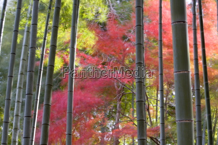 colourful maples in autumn colours viewed