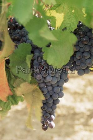 cabernet sauvignon grapes pauillac medoc aquitaine