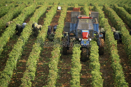 grape harvest vineyards near macon burgundy